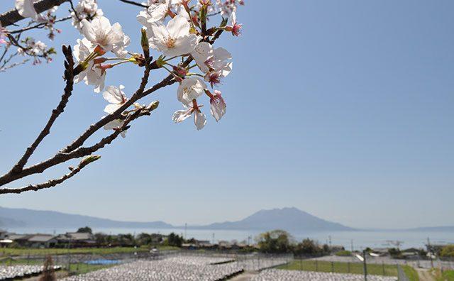 桜と桜島と壺畑